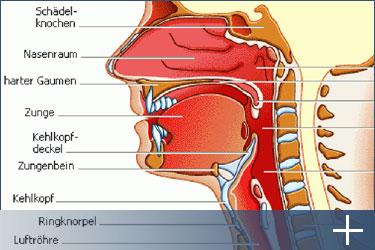 Anatomie der Zunge und des Rachens